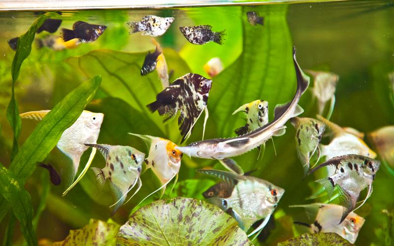 аквариумная осетр видео