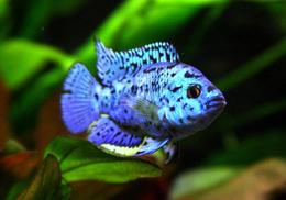 zihlazoma blue dempsi